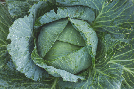 Bright Cabbage Color 134877