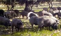 La carne de cerdo ibérico puro es ideal para la salud cardiovascular
