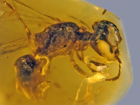Esta abeja es nueva para la ciencia, tiene 100 millones de años y se encuentra perfectamente conservada en ámbar (polen incluido)