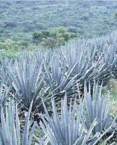 El tequila y la ciencia