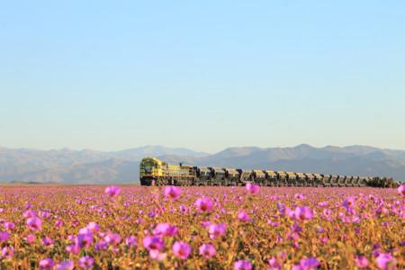El desierto más seco del mundo, florido como nunca