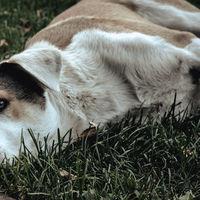 Con nanopartículas de plata, investigadores de la UNAM logran tratar el moquillo en los perros