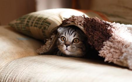 gato-mascota-pelo
