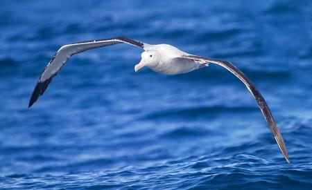 Pusieron un rastreador GPS a 169 albatros: patrullando el océano las aves detectaron un centenar de pesqueros ilegales