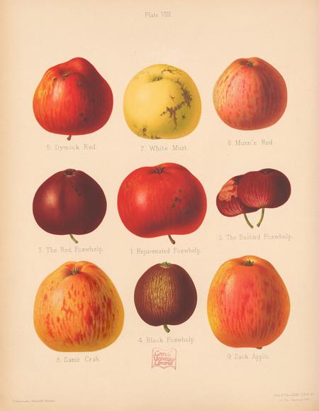 Ilustracion Antigua Manzanas