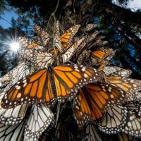 Michoacán es testigo del resurgimiento de la Mariposa Monarca