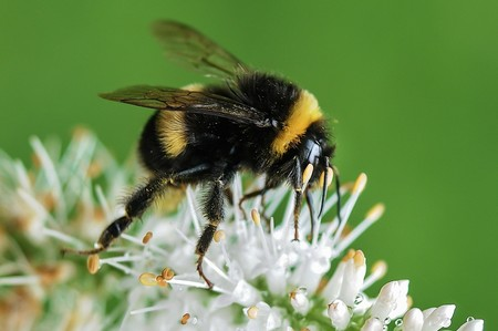 abeja-apiterapia