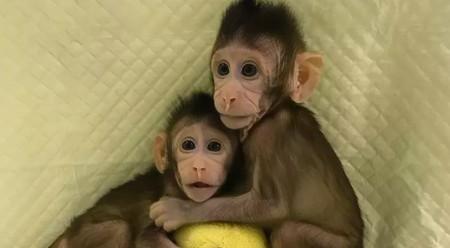 China acaba de clonar los primeros monos de la historia: son dos macacos, tienen diez semanas y están en perfecto estado de salud