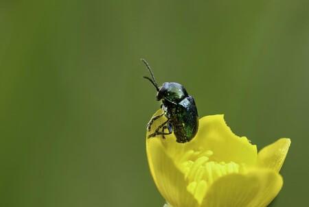 """El """"teflón"""" de los escarabajos: el lubricante de sus articulaciones funciona mejor que la grasa para vacío, según unos investigadores"""