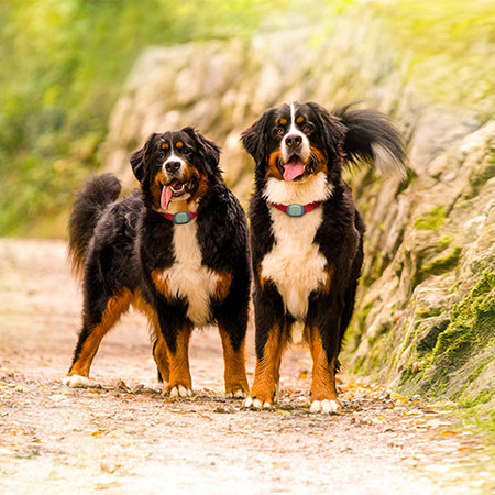 Dos perros con el localizador Kippy EVO al cuello.