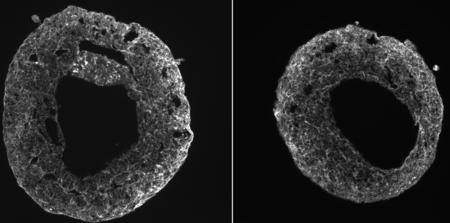 Miles de corazones del tamaño de una semilla de sésamo latiendo en un laboratorio de Austria: una imagen que muestra las primeras fases del desarrollo cardiaco