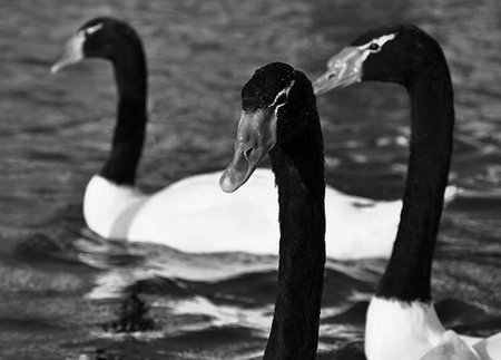Cisnes-2