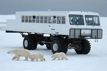 Observación de osos polares en Canadá