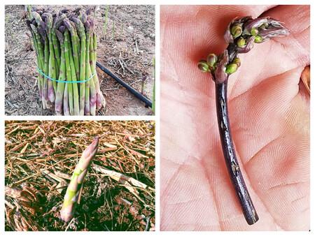 Manojo De Esparragos Gruesos Brote De Primeros Esparragos Y A La Derecha El Famoso Esparraguin C Green Asparagus Coop