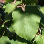 Consejos para cultivar una planta de hoja santa en casa