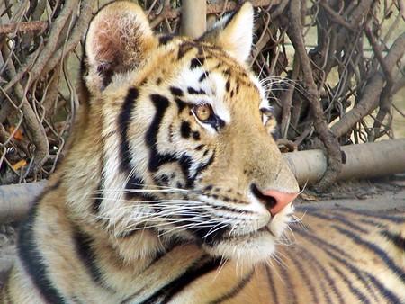 Ahora son dos tigres y un faisán plateado, Profepa vuelve a asegurar animales que estaban fuera de su hábitat natural