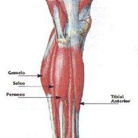 El soleo: un músculo poco conocido de la pierna