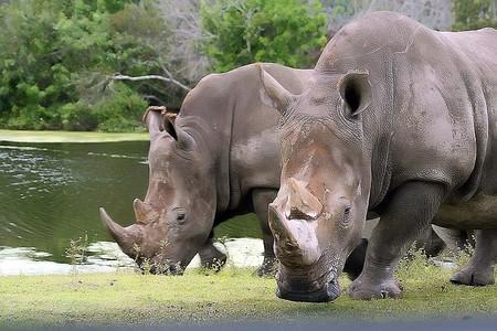 Embriones híbridos para salvar al rinoceronte blanco: acabamos de dar un paso clave para 'resucitar' especies