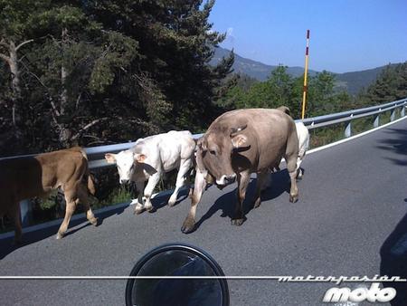 Vacas Collada Toses