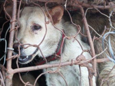 Los internautas quieren salvar a 10.000 perros y gatos de ser devorados en China. Es posible que lo consigan