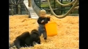 Un padre muestra un vídeo de su hija cuando tenía 18 meses jugando con gorilas