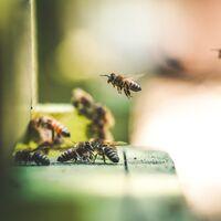 La fascinante historia sobre cómo descubrimos que las abejas perciben el tiempo