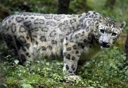Tonos de llamada para cazar leopardos