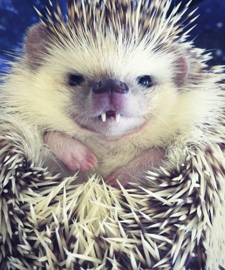 Huff, el erizo con colmillos de vampiro, la nueva y encantadora estrella de Instagram