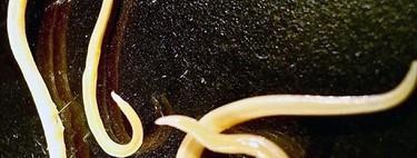 Estos nematodos llevaban 42.000 años congelados, y ahora están vivos