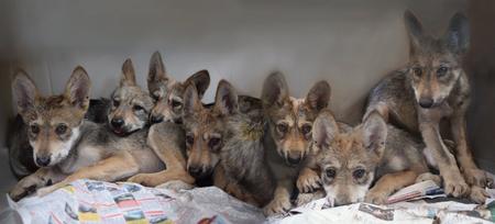 Nacen Siete Crias De Lobo Mexicano En Zoologico De Ciudad De Mexico