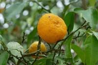 El yuzu, aroma cítrico asiático en estado puro