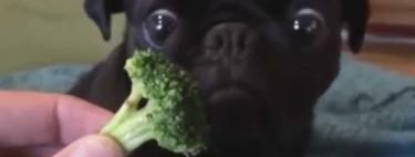 Dale de comer brócoli a tu perro y ayúdalo a vivir más tiempo