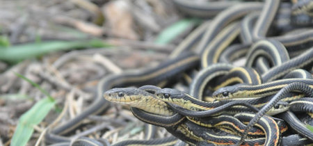 La obsesión por el sexo te mata, si eres esta especie de serpiente