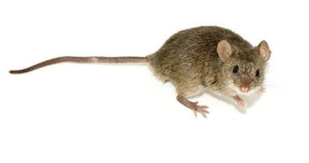 Volver a andar siendo paralítico da un paso adelante con este experimento con ratones