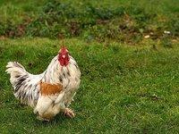 El alquilador de gallinas