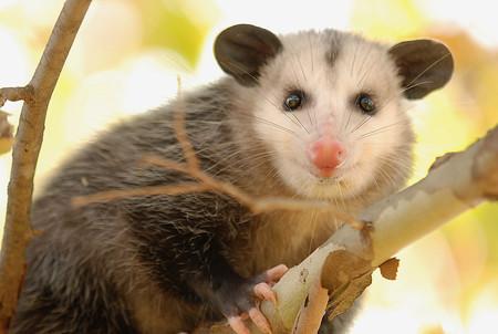 Tlacuache, así es el pequeño y único marsupial mexicano