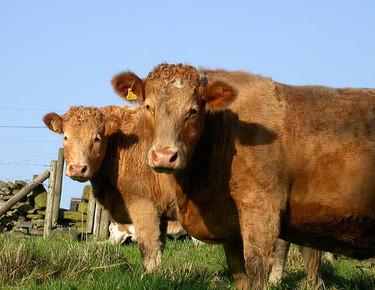 ¿Comemos animales clonados?