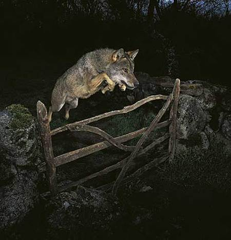 La foto del lobo de José Luis Rodríguez, cuestionada