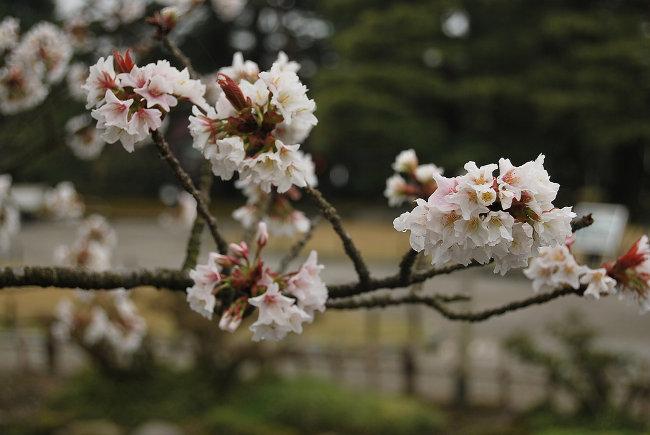 Flores en Kanazawa