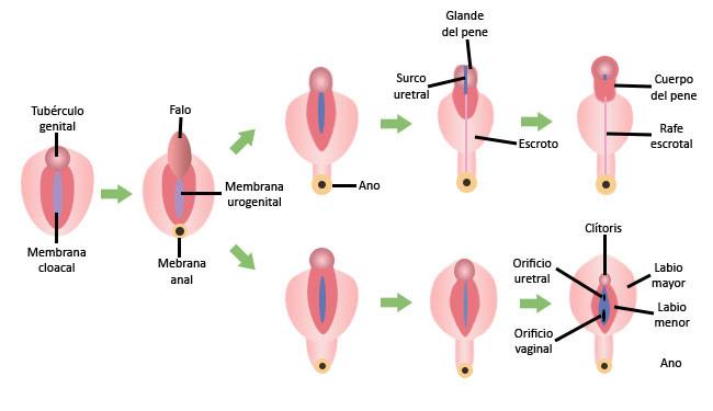 Desarrollo embrionario de los órganos genitales