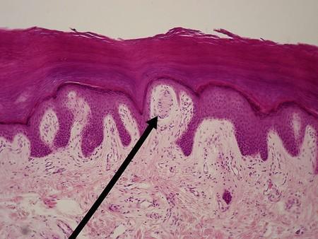 Meissner y Pacini: lo que permite que tu piel sea capaz de sentir con tanto detalle