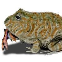 Éstas son algunas de las ranas más raras del mundo
