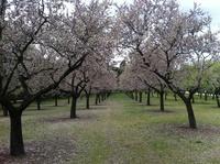 La Quinta de los Molinos: almendros en flor en Madrid