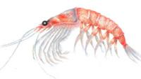 El Krill, un tesoro de proteínas que se encuentra en el mar
