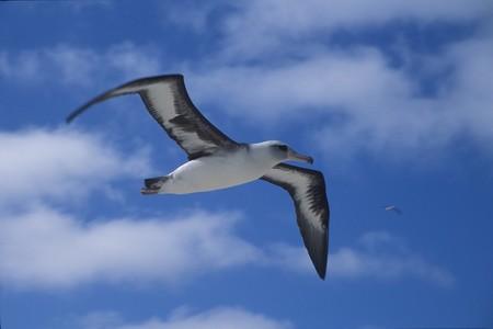Laysan Albatross 848343 960 720