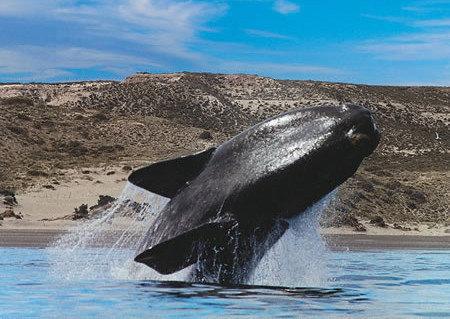 Ya llegaron las ballenas a la Patagonia
