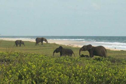 Elephans on the beach