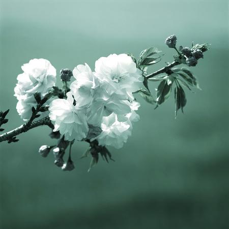Cerezo Sakura