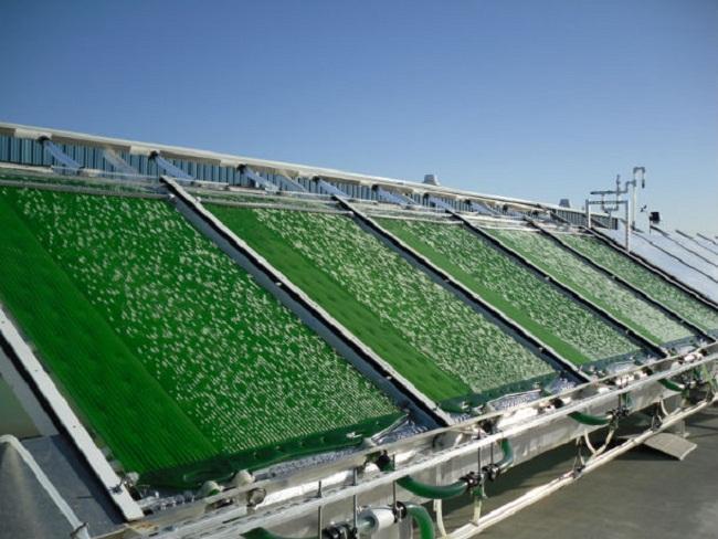 Producción del algas para biocombustible