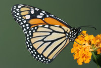 Los santuarios de las mariposas monarca